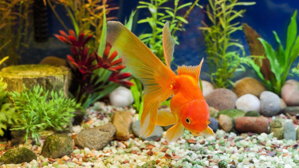 Kissing Gold Fish near aquarium gravel