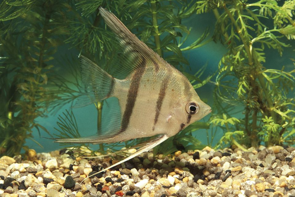 Aquarium fishes, Angelfish (Pterophyllum altum)