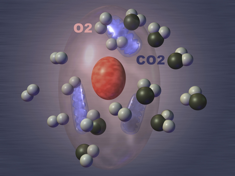 cellular respiration quiz