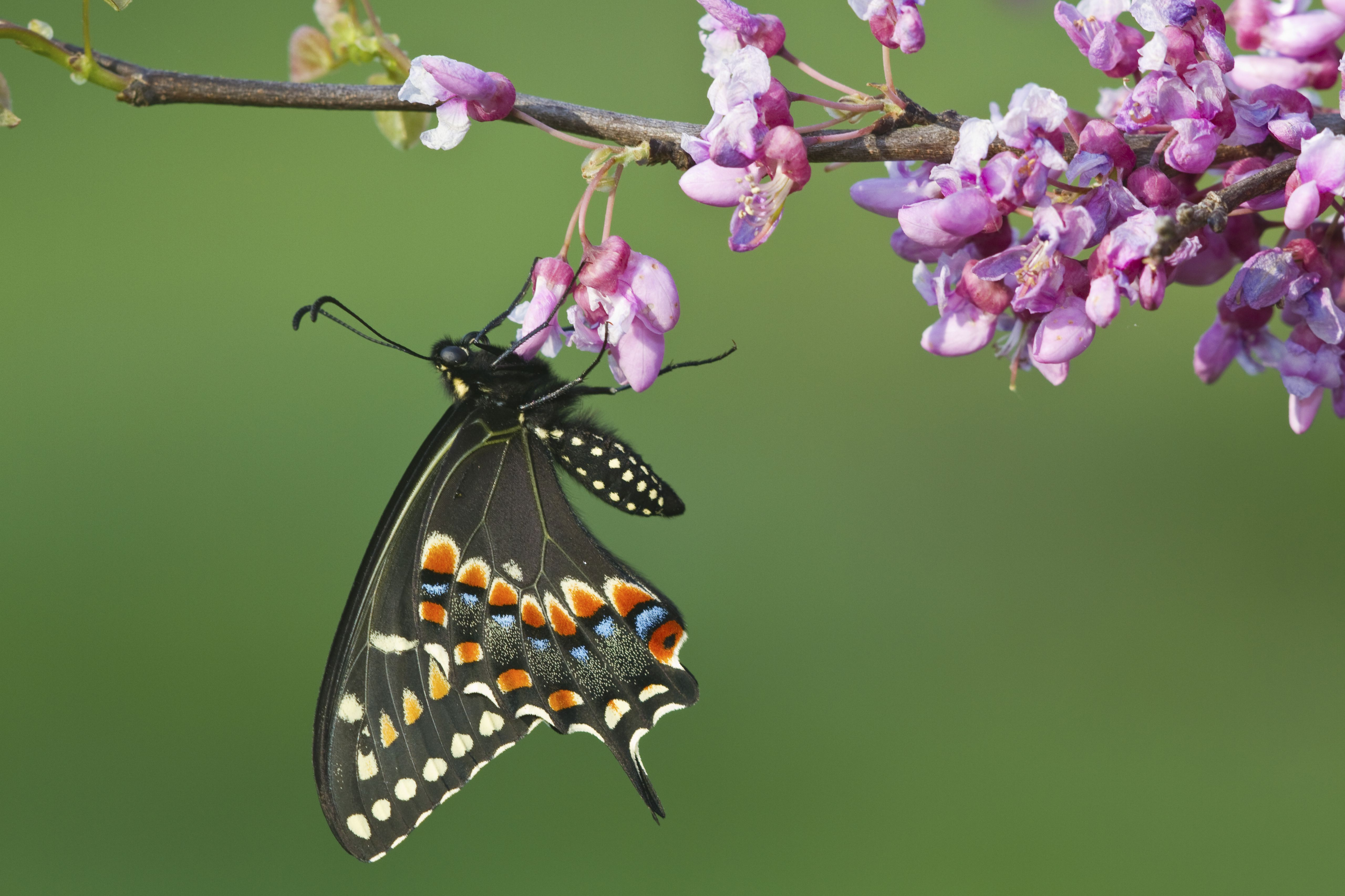 trees that attract butterflies nectar sources