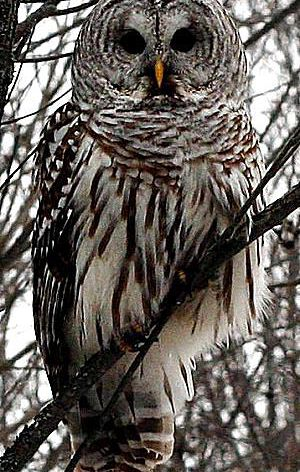 20 Fun Facts About Owls - Bird Trivia