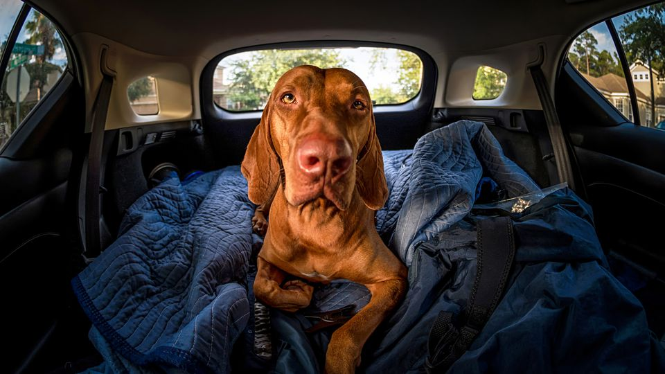 Vizsla laying down in back of vehicle