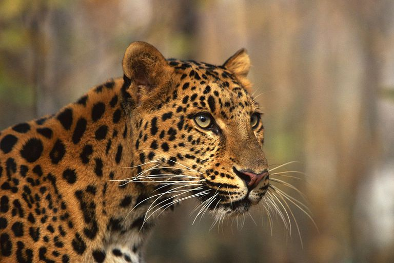 Picture of an Amur leopard