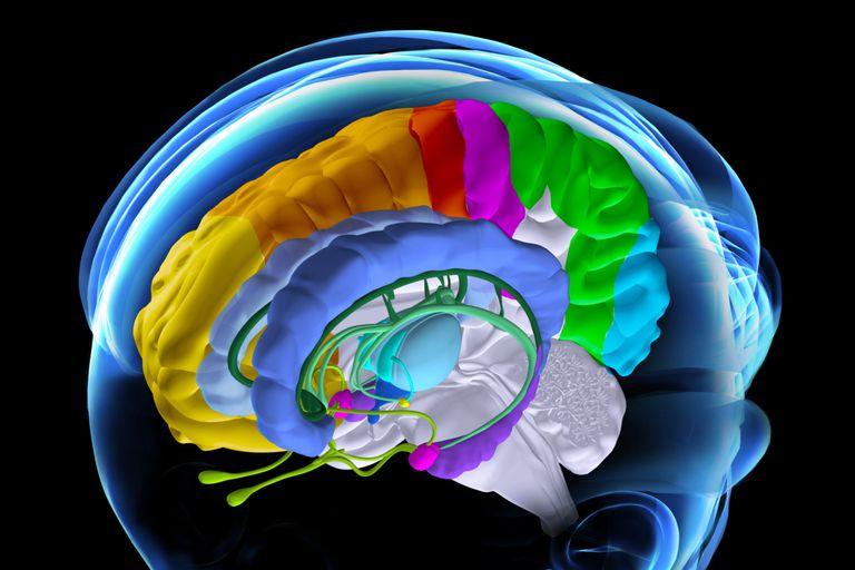 illustration of brain anatomy