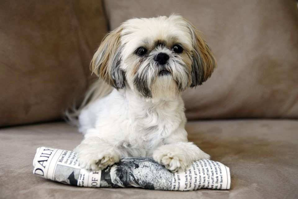 Shih tzu dog lying on a newspaper