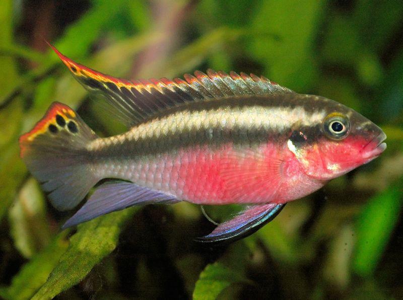 Kribensis - Pelvicachromis pulcher