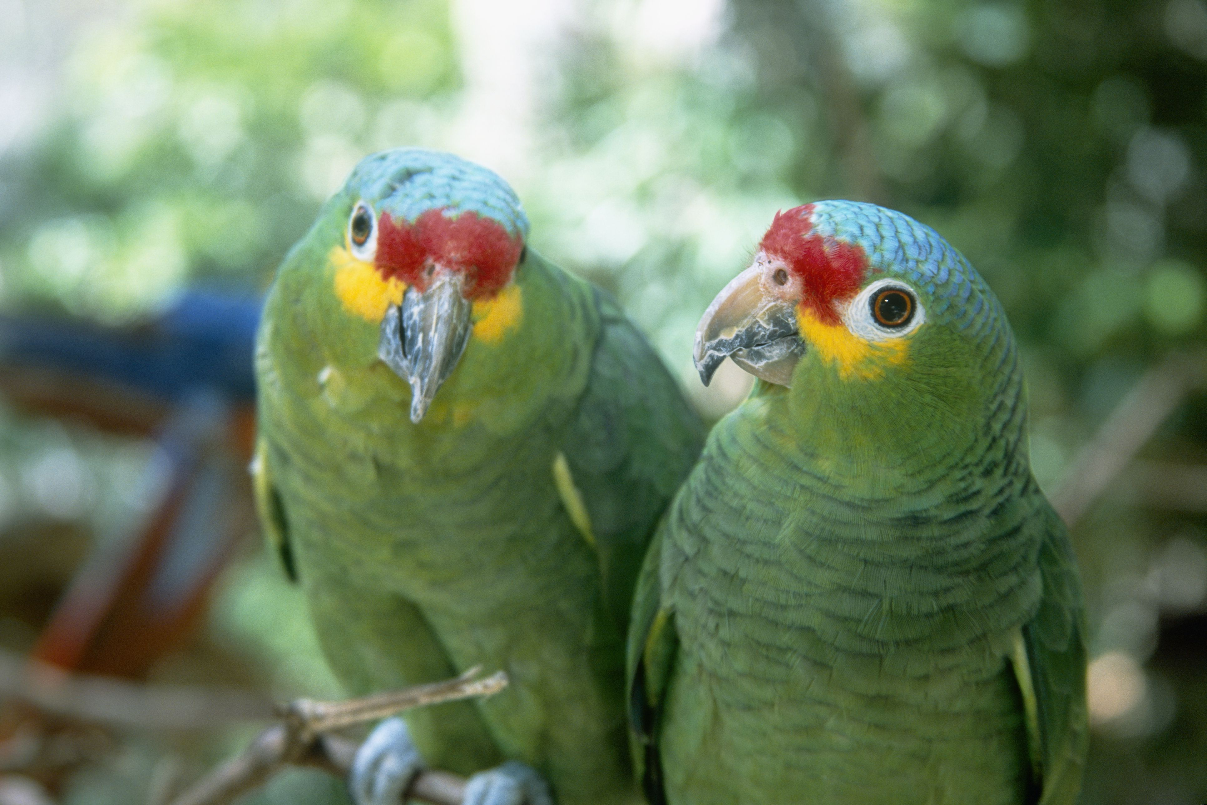 the top loudest parrot species