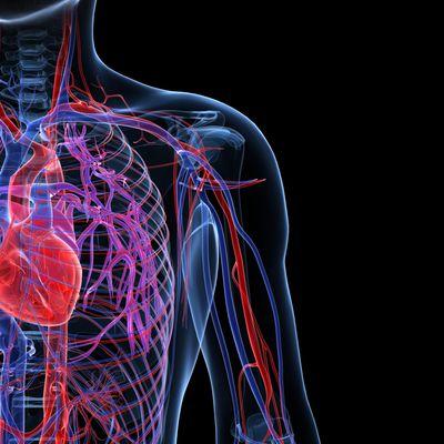 Cuáles son las funciones del sistema cardiovascular?