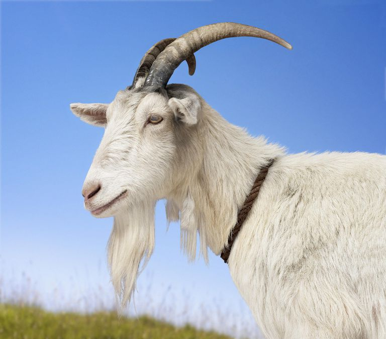 """The Kozlowski surname derives from a root word meaning """"goat."""""""