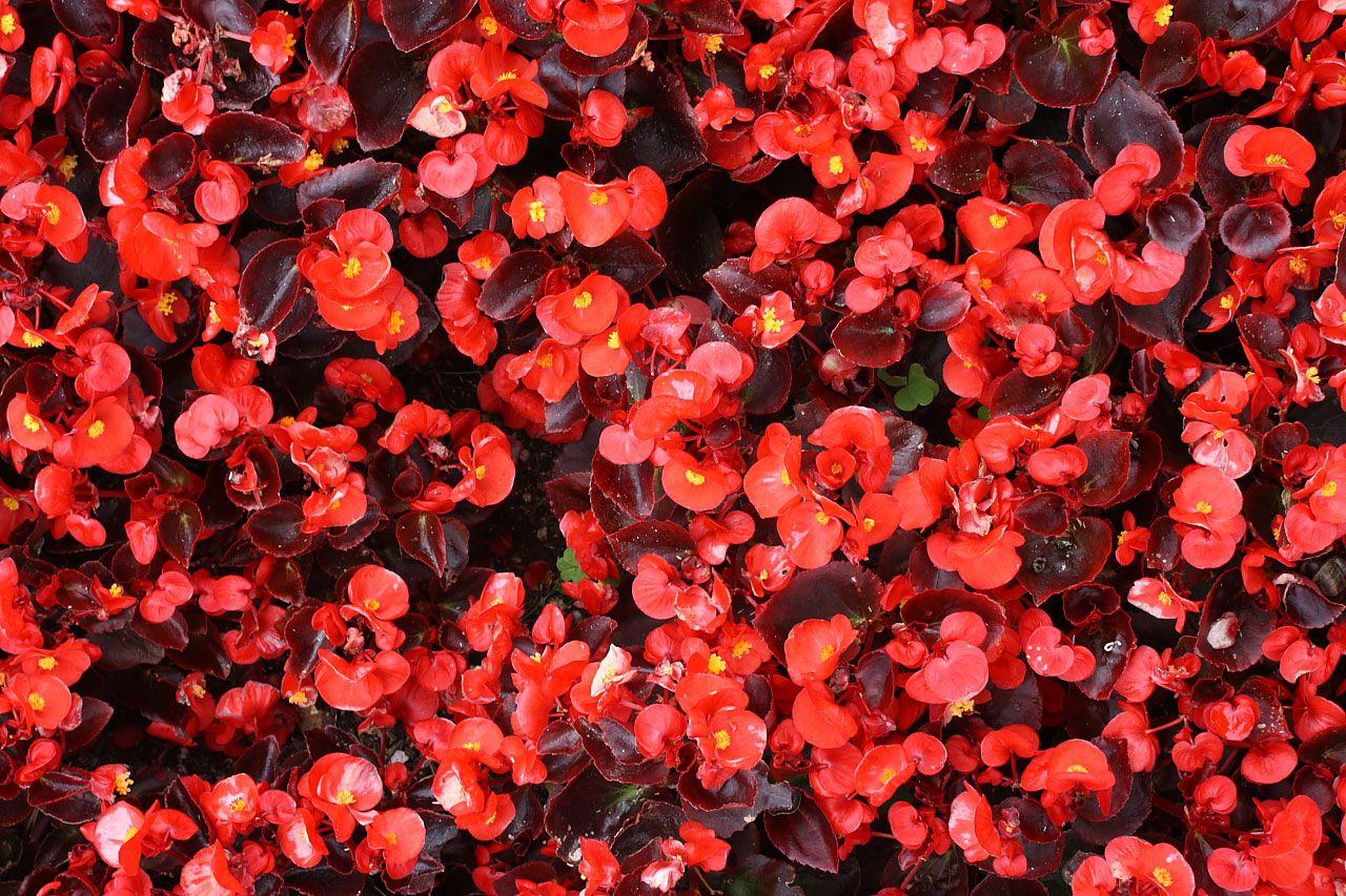 how to grow wax begonias semperflorens indoors. Black Bedroom Furniture Sets. Home Design Ideas