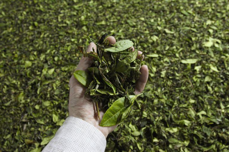 Procesamiento de las hojas del té