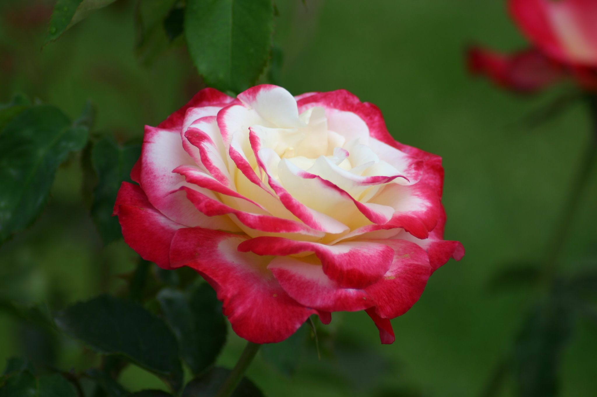 Top 10 Fragrant Roses To Grow