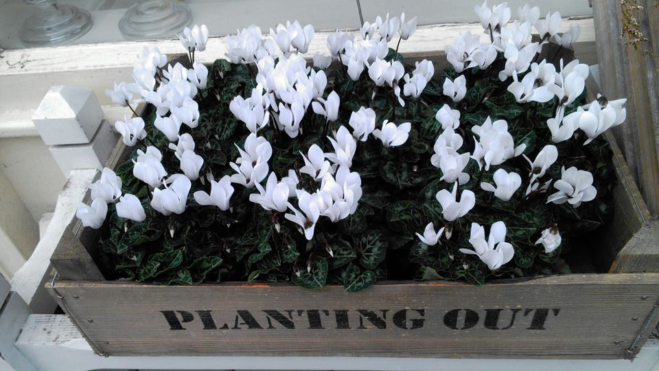High Angle View Of White Cyclamen Flowers Growing In Wooden Box