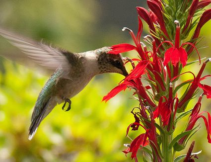 Top 10 flowers to attract hummingbirds flowers with nectar to attract hummingbirds mightylinksfo