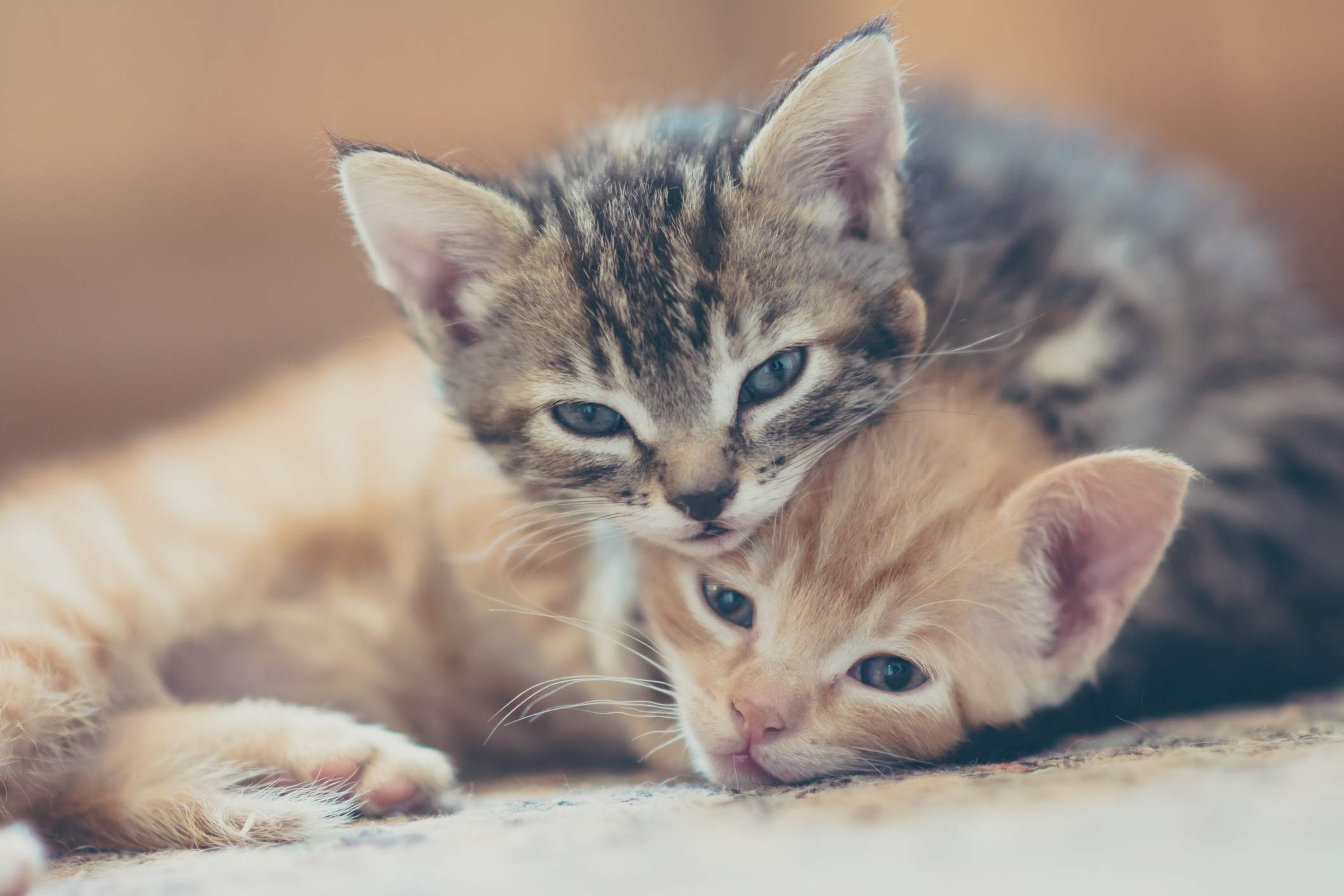 Kitten development in the first six weeks of life nvjuhfo Image collections