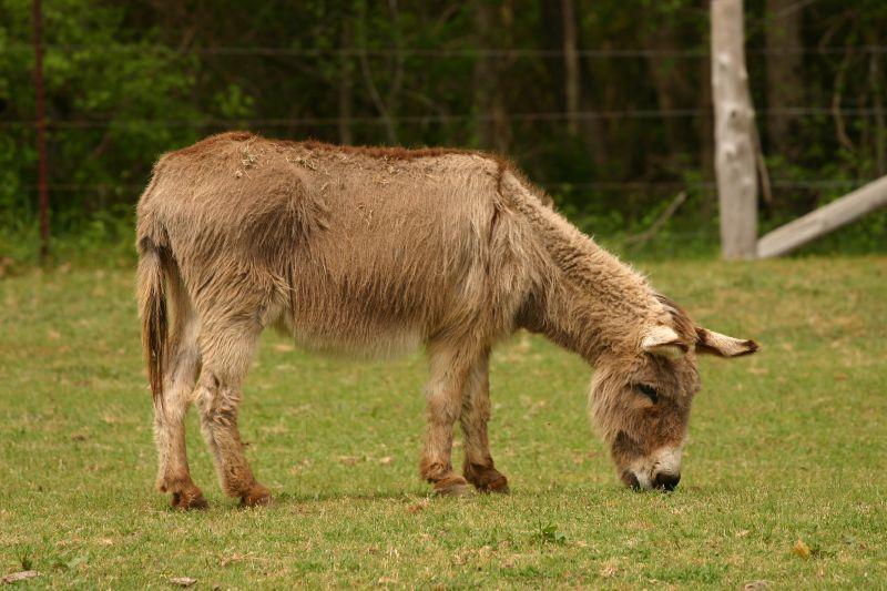 Donkey at Latta Plantation