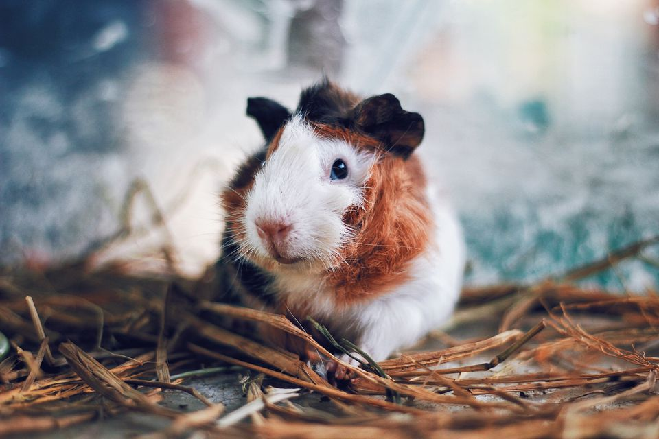 4 types of guinea pig cages close up portrait of guinea pig sciox Gallery