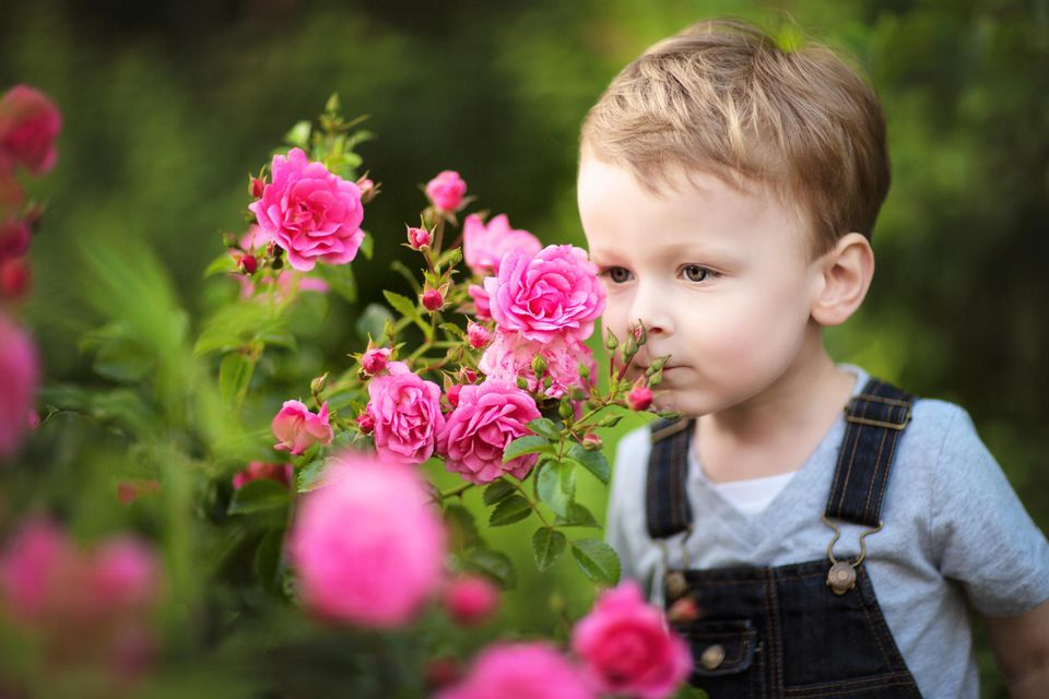 Little Boy sniffing on Shrub with pink Roses