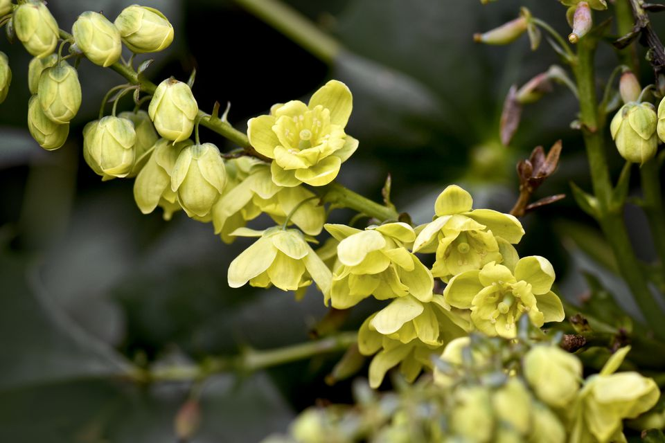 10 best shrubs with yellow flowers closeup of pale yellow flowers of mahonia japonica shrub mightylinksfo Choice Image