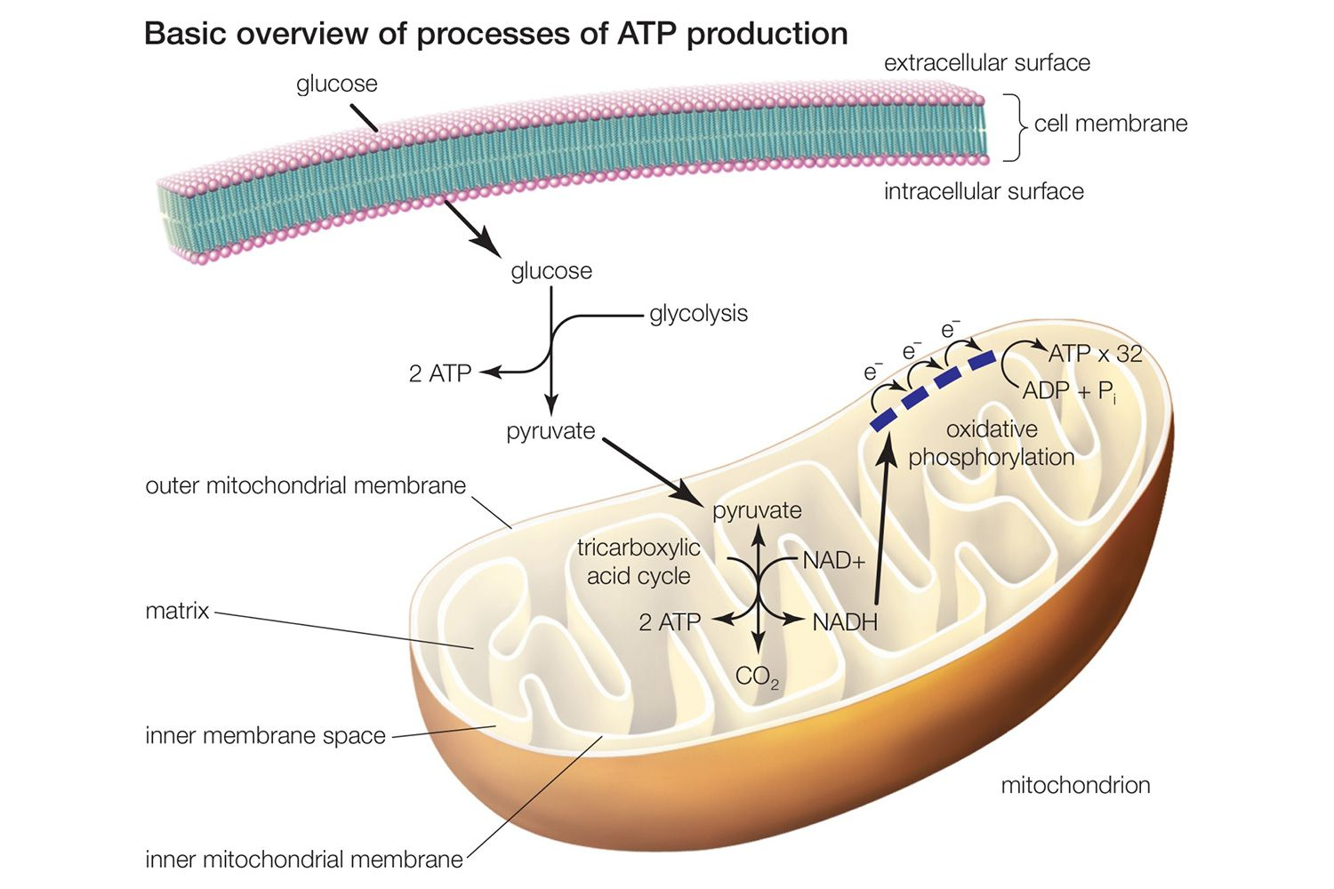 Difference between fermentation anaerobic respiration learn about the 3 main stages of cellular respiration pooptronica