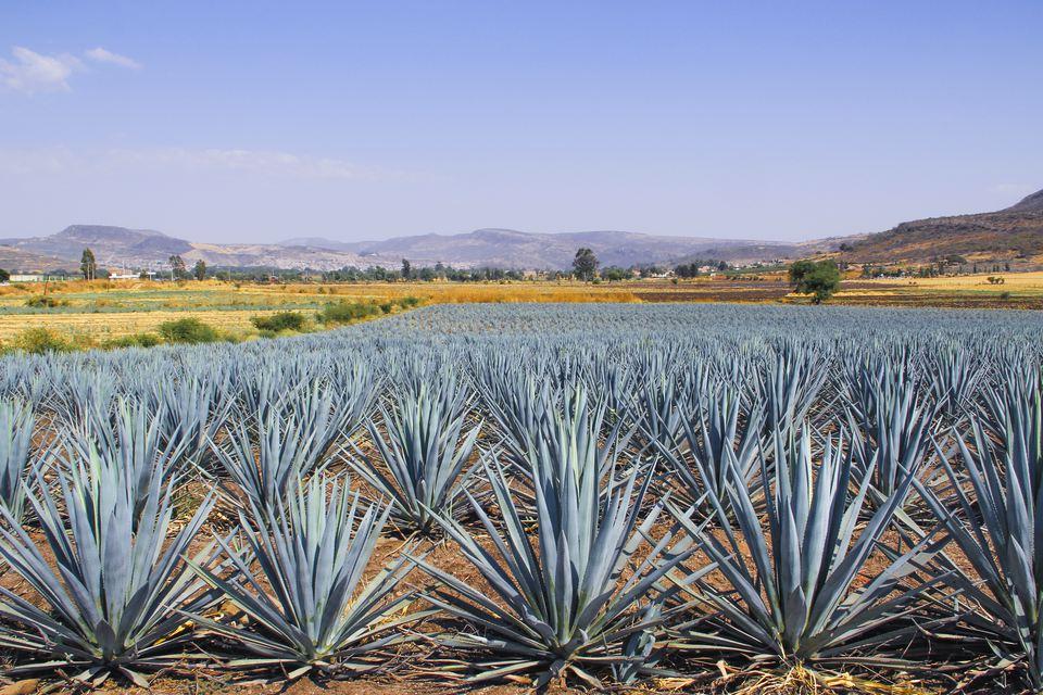 Land of blue agave