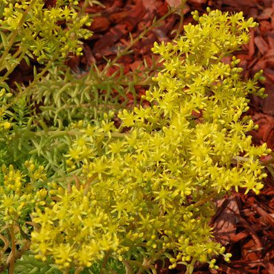 Picture of Angelina sedum plants. The Angelina sedum in the photo is brimming with yellow flowers.
