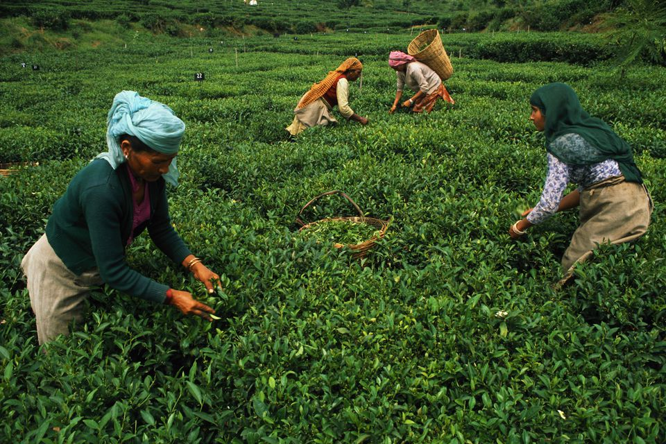 Women harvest tea leaves at a plantation in Palampur.