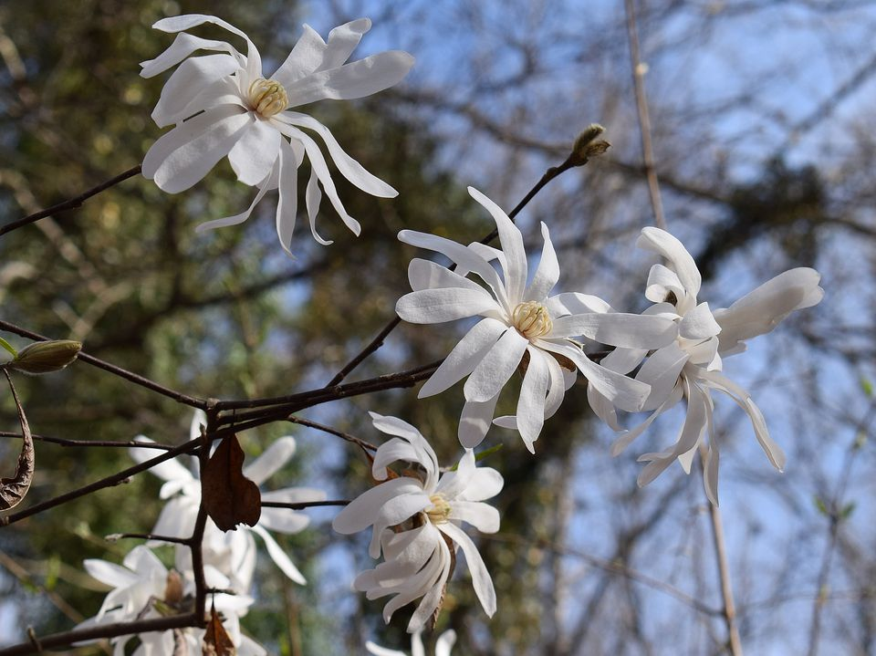Try a flowering tree in your yard for visual impact star magnolia trees mightylinksfo Image collections
