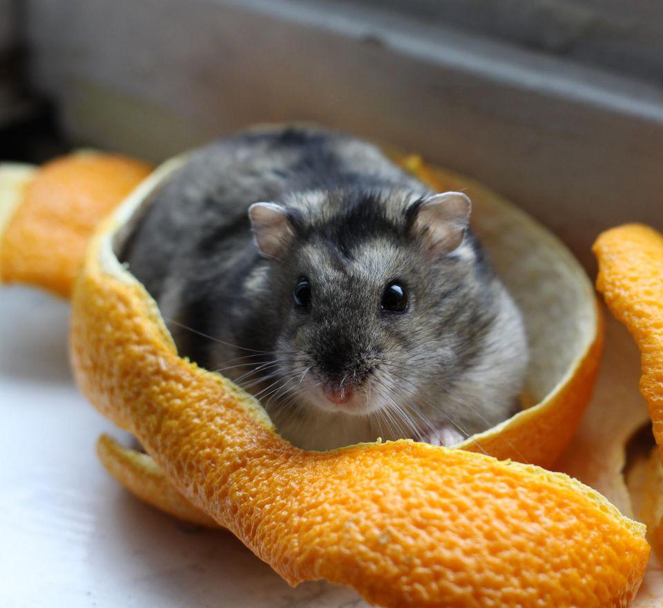 Dwarf Hamster