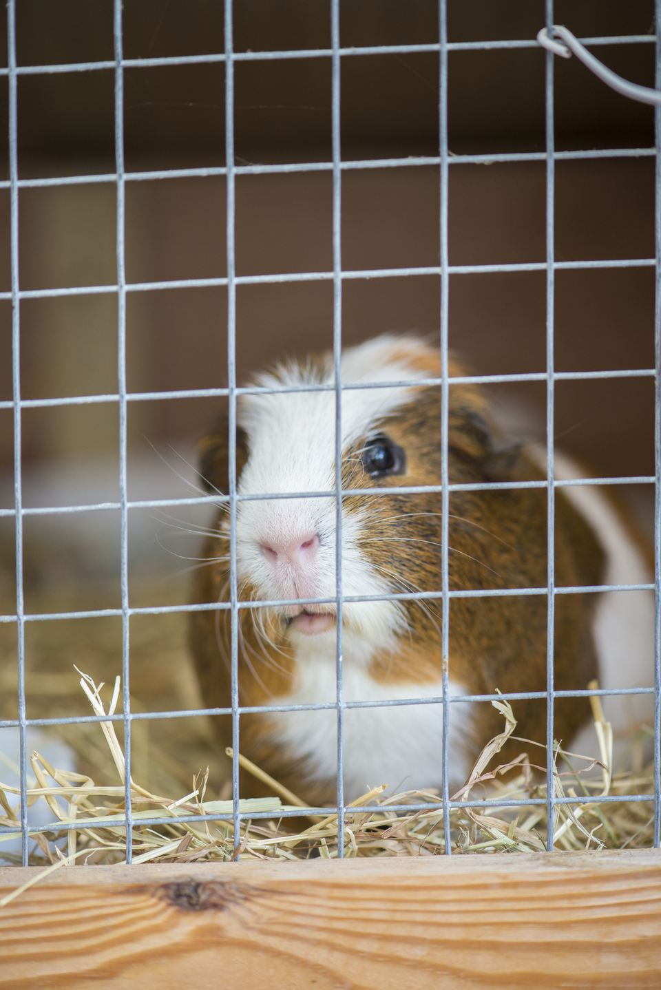 Homemade guinea pig cages for Wire guinea pig cages