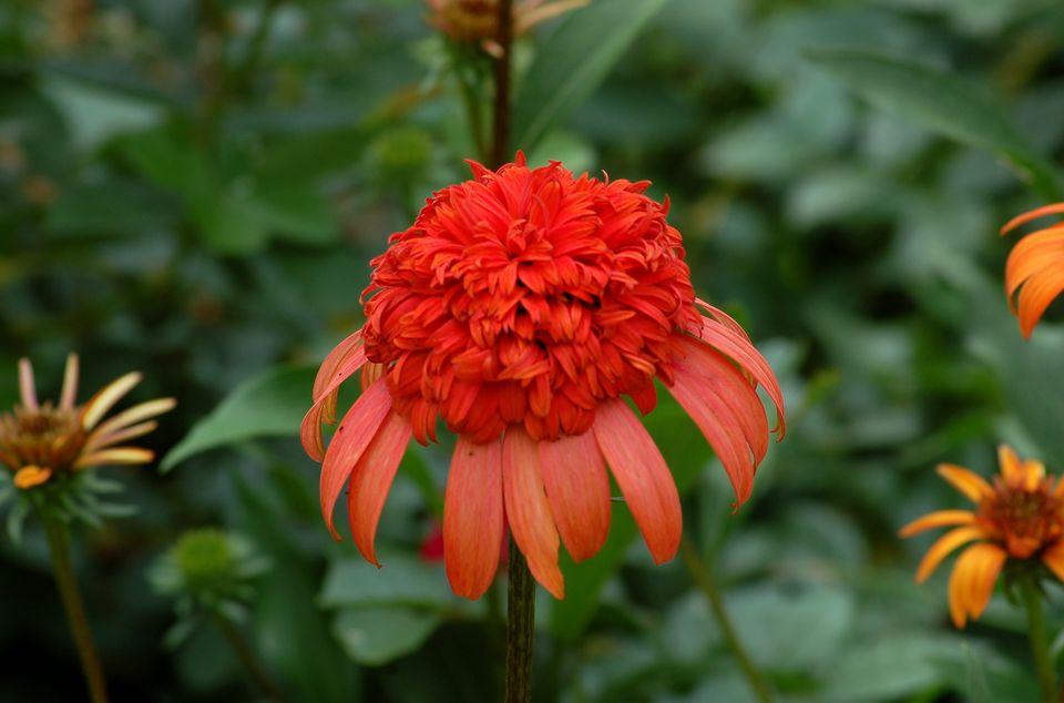 Image of Echinacea 'Secret Lust,' a type of coneflower.