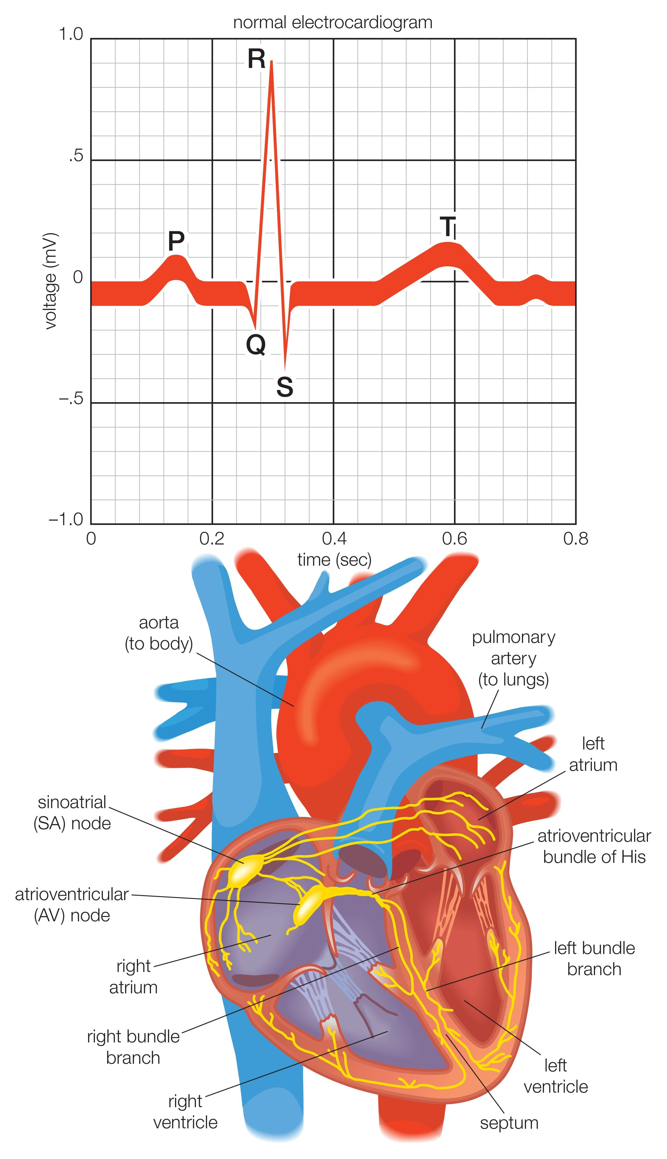 Heart Is An International Peer Reviewed Journal: The Cardiac Electrical System And How The Heart Beats