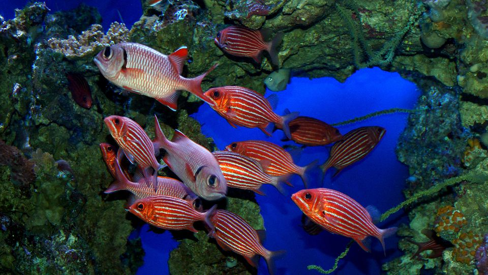 Hawaiian squirrelfish or Striped Squirrelfish.
