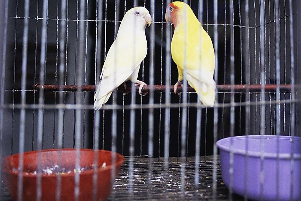 Two parakeets in cage together, Havana, Cuba