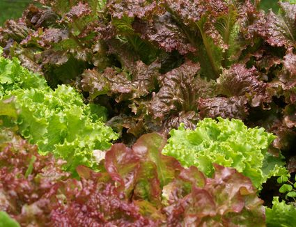 Growing lettuce in the heat of summer - How to store lettuce from garden ...