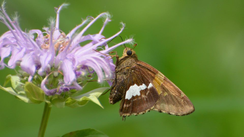 Silver-spotted Skipper Shaw Nature Reserve