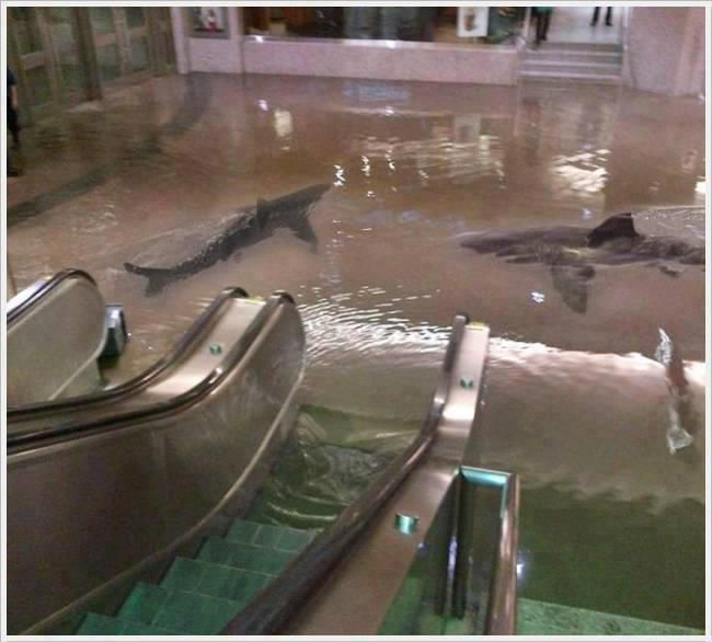 Sharks in Kuwait