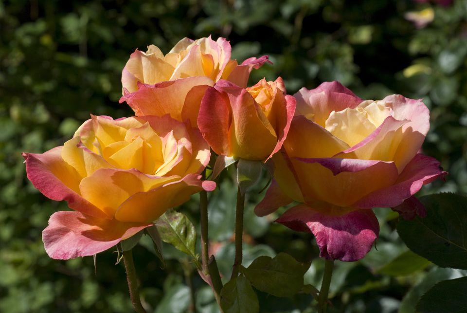 Broadway Hybrid Rose