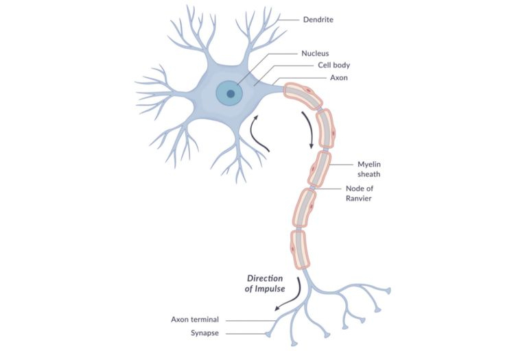 The anatomy of neurons human biology a diagram of a typical human brain cell neuron with different parts and the direction of impulse labeled wetcakegetty images ccuart Gallery