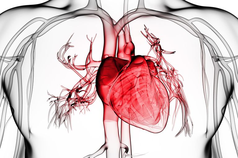 The heart is protected by the pericardium.