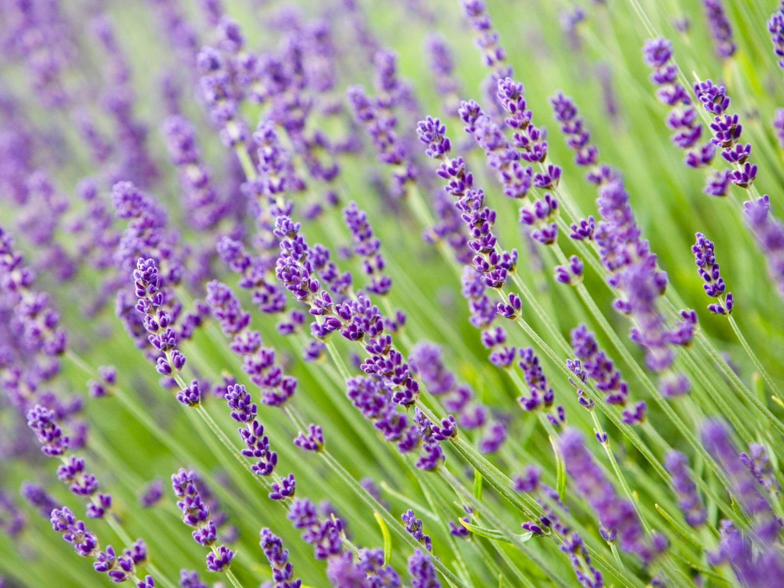 English Lavender Seeds and Plants, Annual Flowers at Burpee.com | English Lavender Plant