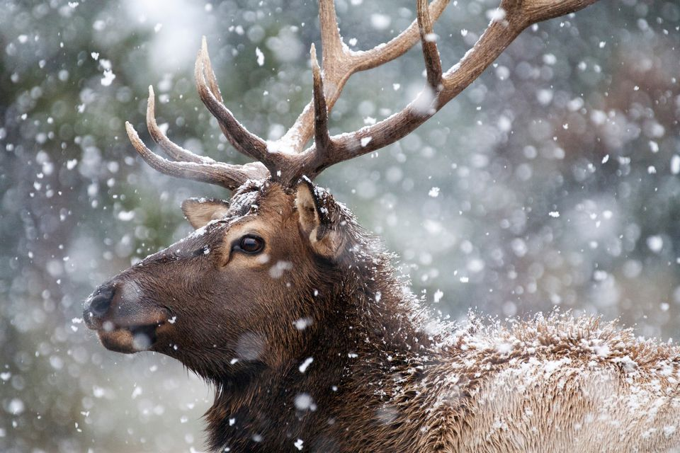 reindeer with snow falling