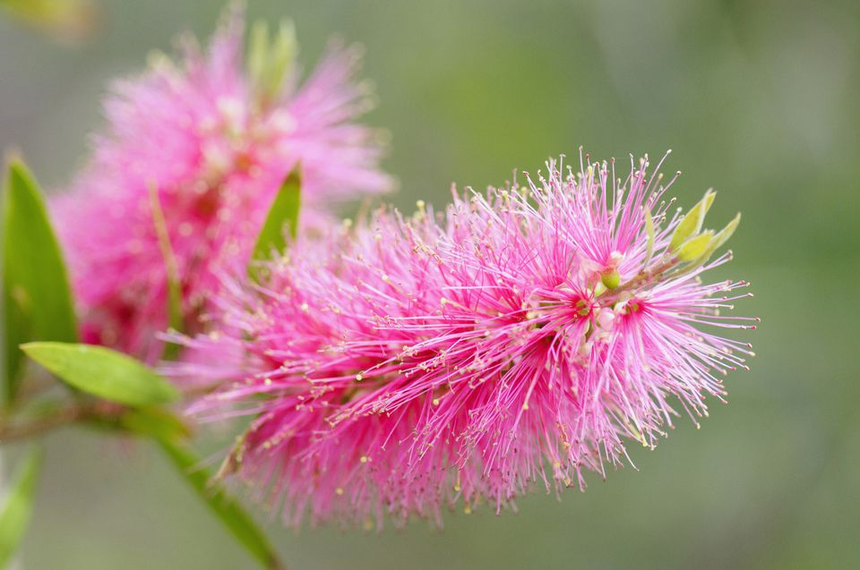 Best shrubs with pink or magenta flowers closeup of pink bottlebrush shaped flowers of callistemon shrub mightylinksfo Image collections