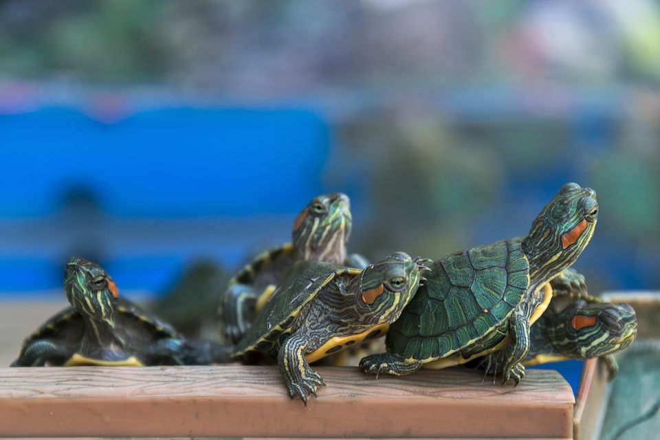 Red eared slider turtle hatchlings
