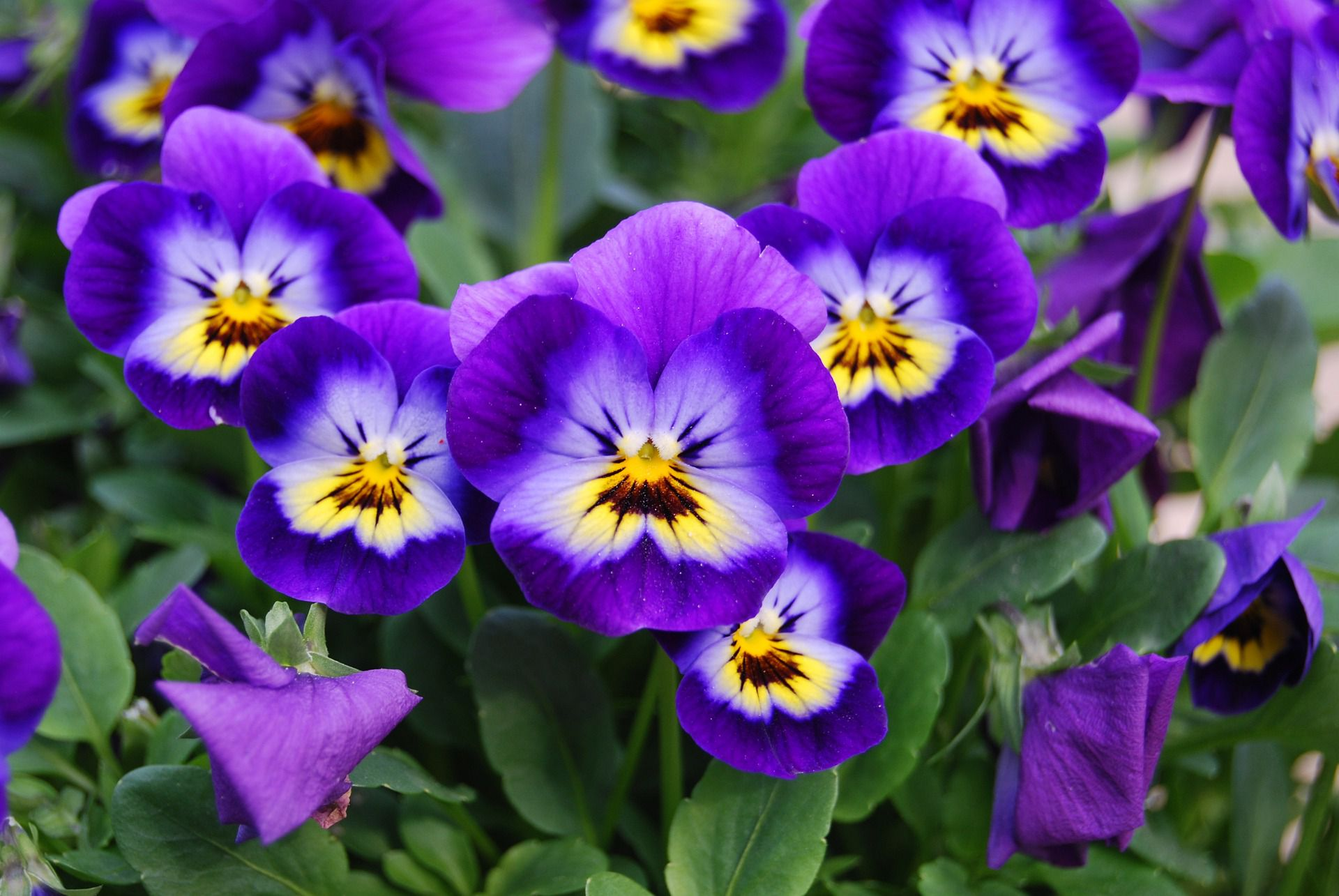 Flowers that bloom in the winter in missouri - How To Grow Charming Cool Season Violas Perennial Plants
