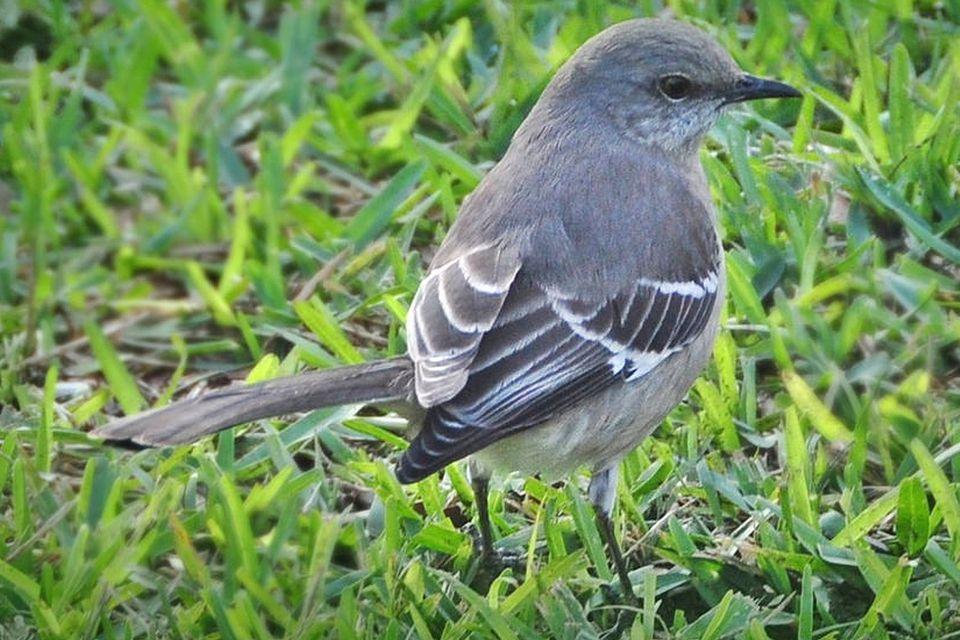 State Bird Of Mississippi Northern Mockingbird