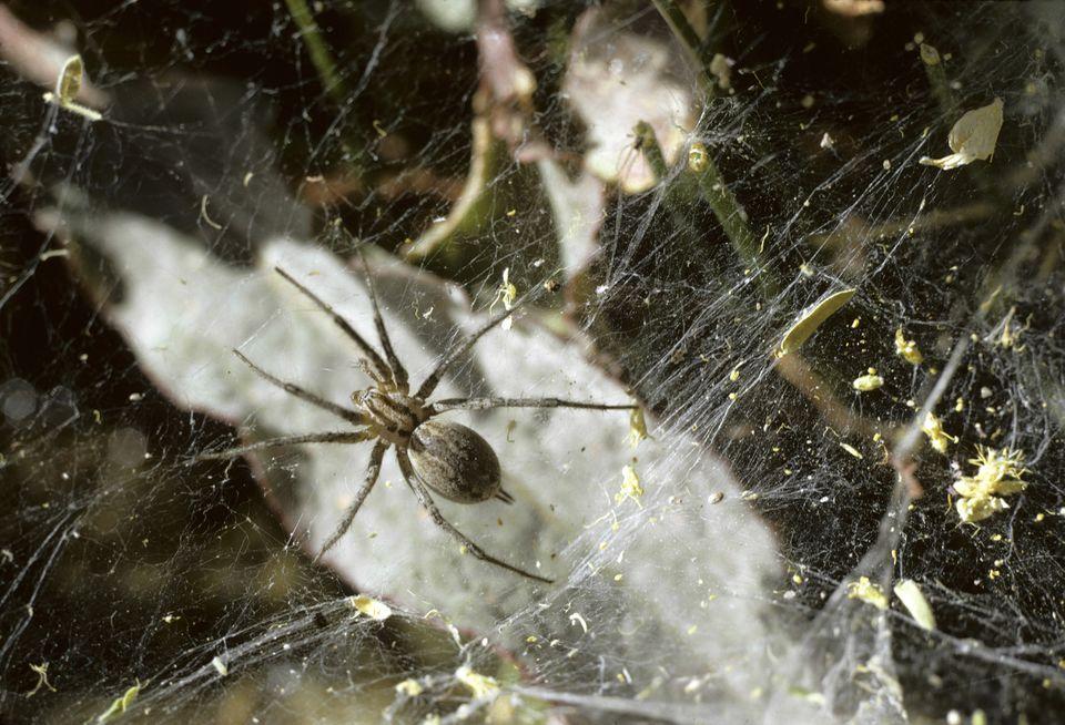 Funnel weaver (hobo) spider