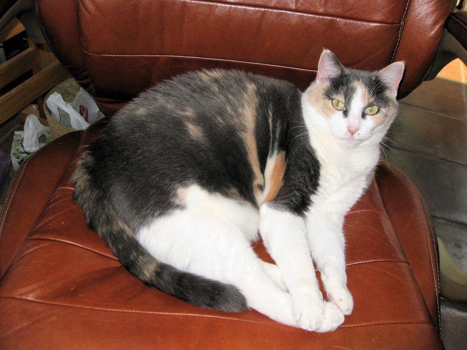 Photo of Jenny, my Mature Spayed Female Cat