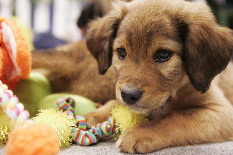 A Puppy Lays on the Ground With a Pile of Toys