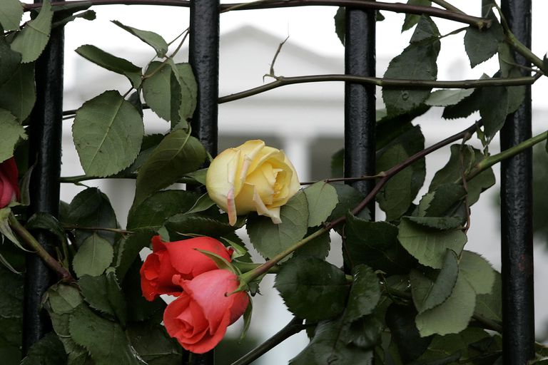 Roses on White House fence, part of a Mother's Day Antiwar Protest, 2006
